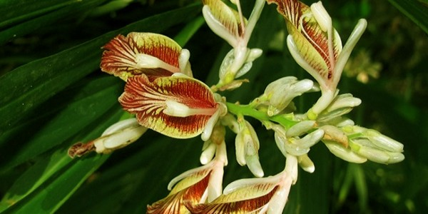 Alpinia-calcarata-Rosc-cultivation-India