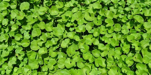 Brahmi-Plant-Uses-in-Ayurveda-Ayurvedic-Treatment