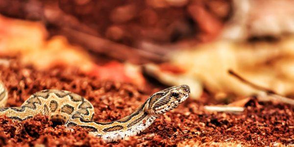 Snake-in-Parassinikadavu-Snake-Park