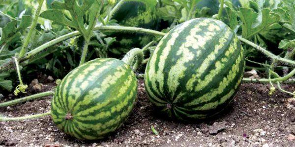 Watermelon-cultivation-Kerala